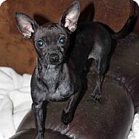 Adopt A Pet :: Monet - Westminster, CO