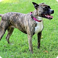 Pit Bull Terrier Mix Dog for adoption in Norfolk, Virginia - PRETTY PEPPER