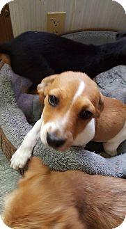 Dachshund Mix Puppy for adoption in Aurora, Colorado - Andrew