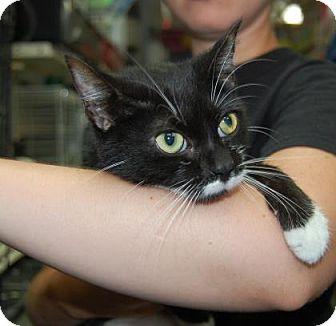 Domestic Shorthair Kitten for adoption in Brooklyn, New York - Beansie