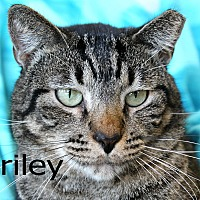 Adopt A Pet :: Briley - Wichita Falls, TX