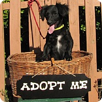 Adopt A Pet :: Percy - Mountain Home, AR