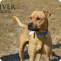 American Bulldog Mix Dog for adoption in Mobile, Alabama - RIVER