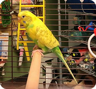 Budgie for adoption in Shawnee Mission, Kansas - Tweety Bird