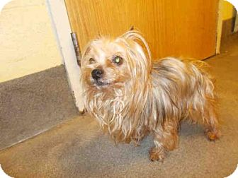 Yorkie, Yorkshire Terrier Dog for adoption in Upper Marlboro, Maryland - *RALPH-ANGEL