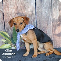 Adopt A Pet :: CLINT - Conroe, TX
