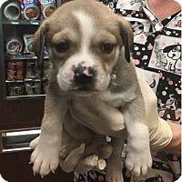 Adopt A Pet :: Jingle - Billerica, MA