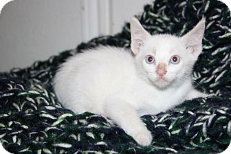 Domestic Shorthair Kitten for adoption in Austin, Texas - Hope