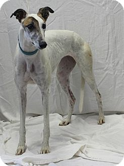 Greyhound Mix Dog for adoption in Swanzey, New Hampshire - Karla