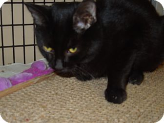 Domestic Shorthair Cat for adoption in Medina, Ohio - Jethro