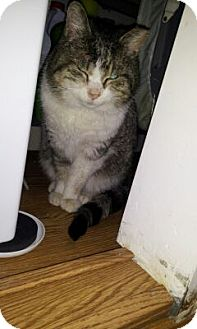 Domestic Shorthair Cat for adoption in New York, New York - Romeo