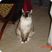 Siamese Cat for adoption in Medford, New Jersey - Diamond Girl