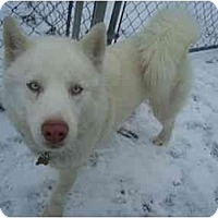 Adopt A Pet :: White Fang - Belleville, MI