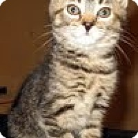 Adopt A Pet :: Tigress - Catasauqua, PA