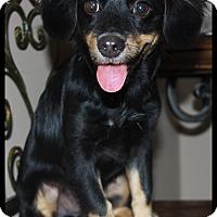Adopt A Pet :: Dexter - Rockwall, TX