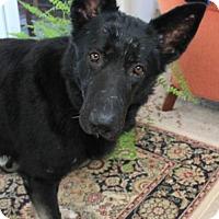 Adopt A Pet :: Cynder - Morrisville, NC