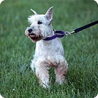 Adopt A Pet :: Mickey - Springfield, MO