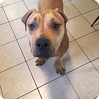 Adopt A Pet :: Conan - Boston, MA