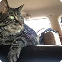 Domestic Shorthair Cat for adoption in Mesa, Arizona - Kepler