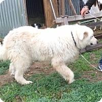 Adopt A Pet :: Bandero LGD - Kyle, TX