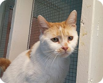 Domestic Shorthair Cat for adoption in Port Clinton, Ohio - Spots Aka Dawn