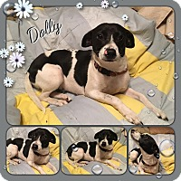 Adopt A Pet :: Dolly-pending adoption - Manchester, CT