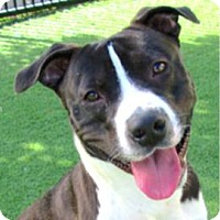 Adopt A Pet :: Jax - Sunnyvale, CA