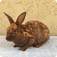 Adopt A Pet :: Fortune Cookie - Bonita, CA