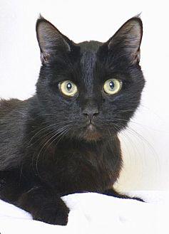 Domestic Shorthair Cat for adoption in Roseville, California - Phyllo