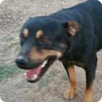 Adopt A Pet :: BEAUTIFUL MARVELOUS  MAJOR - Surprise, AZ