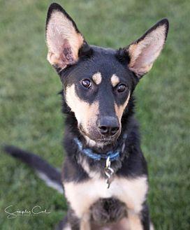 Shepherd (Unknown Type)/Husky Mix Puppy for adoption in Winnipeg, Manitoba - Shannie