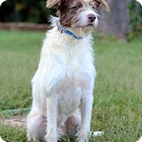 Adopt A Pet :: Scruffy - Waldorf, MD