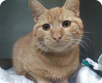 Domestic Shorthair Cat for adoption in New York, New York - Connor