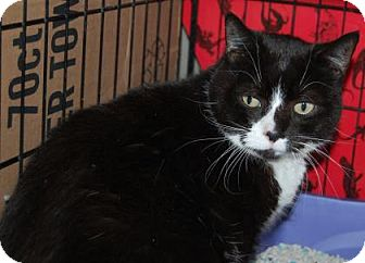 Domestic Shorthair Cat for adoption in Brooklyn, New York - Spooky