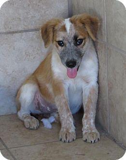 Australian Shepherd Mix Puppy for adoption in Hagerstown, Maryland - Annabelle