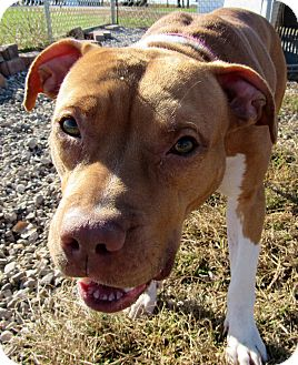 American Pit Bull Terrier Mix Dog for adoption in Grinnell, Iowa - Zelda