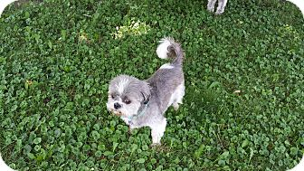 Shih Tzu Dog for adoption in Schofield, Wisconsin - Tonka