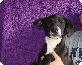 Labrador Retriever/Border Collie Mix Puppy for adoption in Oviedo, Florida - Yaya