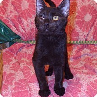Domestic Shorthair Kitten for adoption in Quail Valley, California - Spook