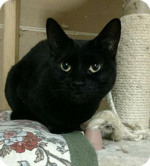 Domestic Shorthair Cat for adoption in Saginaw, Michigan - Dia