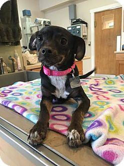 Miniature Pinscher Mix Puppy for adoption in Evergreen, Colorado - Missy