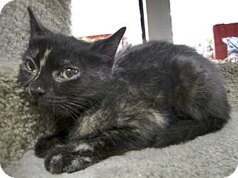 Domestic Shorthair Cat for adoption in Santa Fe, New Mexico - Una