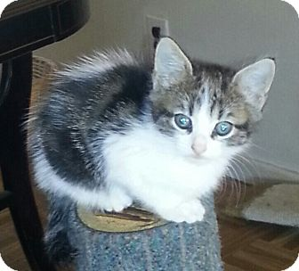 Domestic Shorthair Kitten for adoption in Whitestone, New York - Debbie