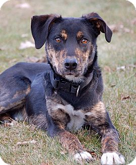 Doberman Pinscher/Australian Cattle Dog Mix Dog for adoption in Mora