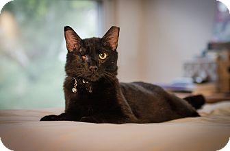 Domestic Shorthair Cat for adoption in St. Louis, Missouri - Mosha