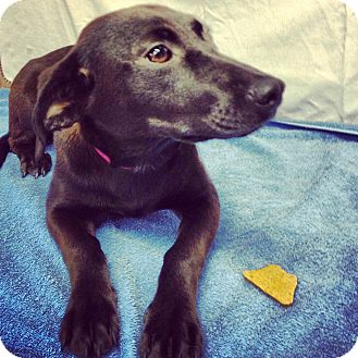 Dachshund Mix Dog for adoption in Waldorf, Maryland - Begonia