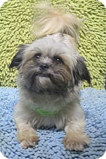 Shih Tzu/Lhasa Apso Mix Dog for adoption in Wytheville, Virginia - Lauren Hill