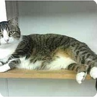 Domestic Shorthair Cat for adoption in Princeton, West Virginia - Zidane