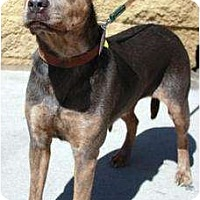 Adopt A Pet :: Sweetness - Gilbert, AZ