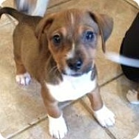 Adopt A Pet :: Tiny Baby Gracie 4 lbs - Marlton, NJ